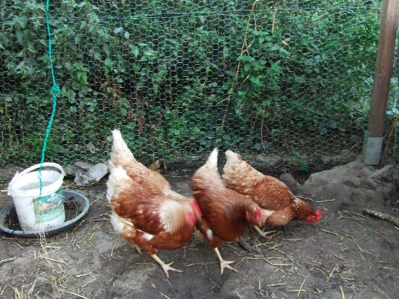 Zwei der fünf fleißig pickenden Hühner