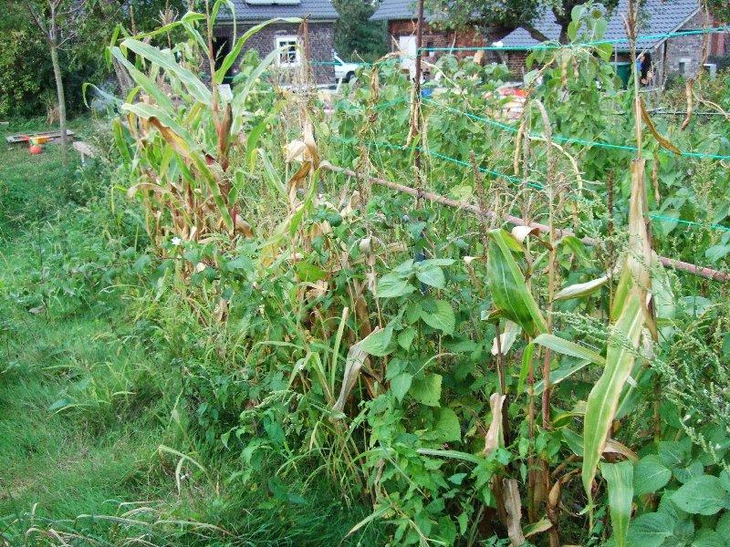 Der Mais steht zwischen Kürbissen, Kartoffeln und weiterem Gemüse