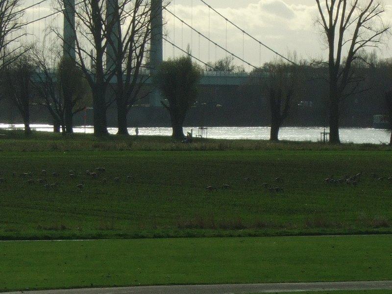 Wildgänse auf den Poller Wiesen vor der Autobahnbrücke.