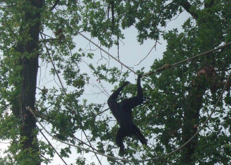 Ein Schimpanse im Burgers Zoo hängt am Seil und hängt am Leben