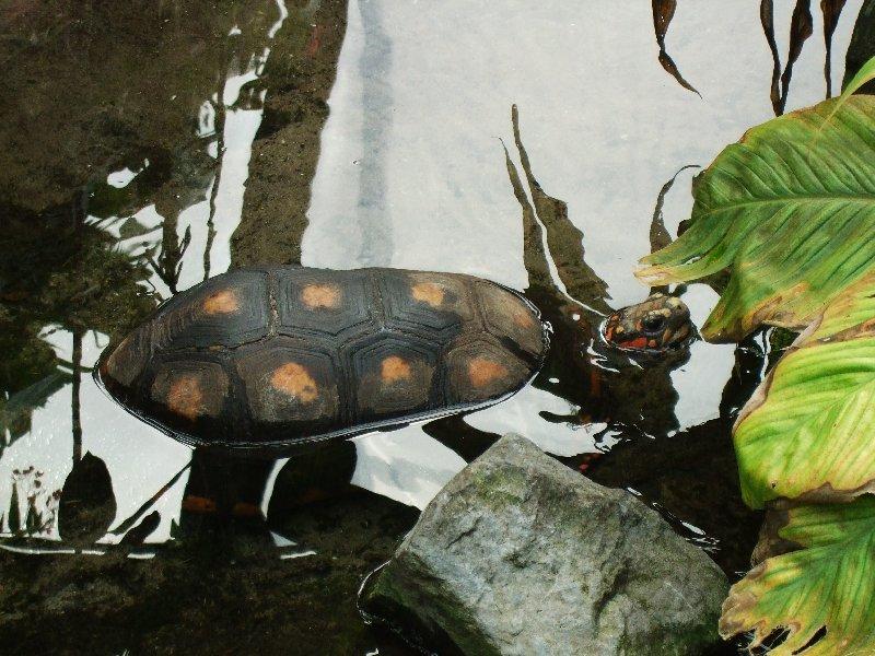 Schildkröte aus dem Burger's Zoo im niederländischen Arnheim