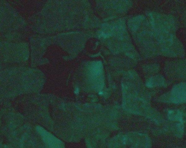 Ein gut getarnter Pinguin bei Nacht vor seiner Steinhöhle