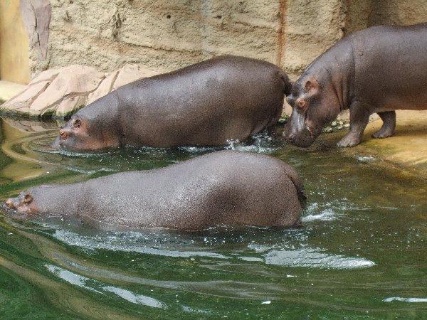 Drei Flusspferde im Hippodom des Kölner Zoos tauchen ab